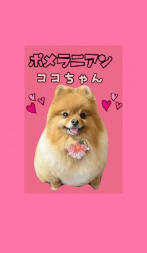 可愛いポメラニアンココちゃん 画像(1)