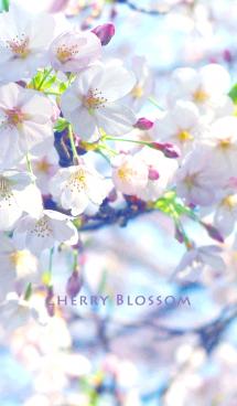 サクラの花 画像(1)