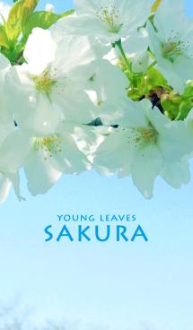 若葉と桜 画像(1)