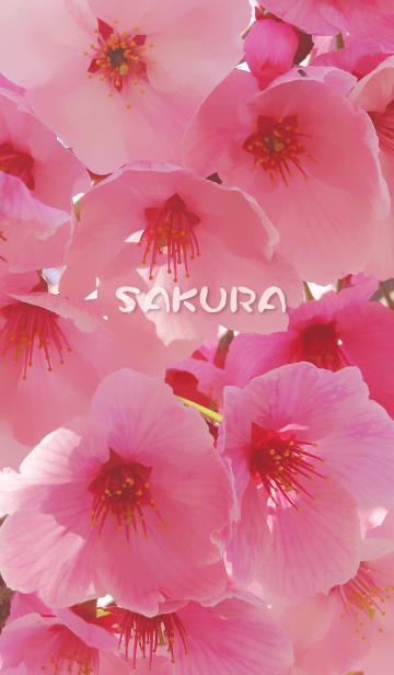 SAKURA〜桜の画像(表紙)
