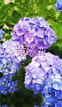 あじさいの花。 画像(1)